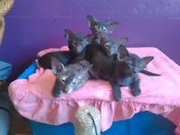 Beautiful Oriental kittens