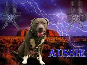 pedigree papered American Staffordshire Terriers / staffys Noosa Heads Noosa Area Preview