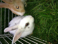 Selling female dwarf bunny