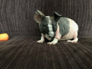 Skinny Pigs for sale