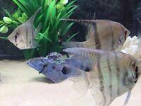 Pair of angel fish