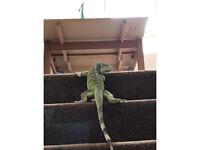 2 year old male green iguana