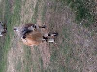 Billy Pygmy Goat for Breeding