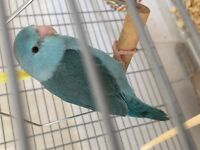 Looking for a male Blue Parrotlet