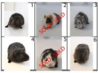 Baby guinea pigs forsale
