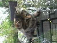 Kittens For Sale / Chatons mignons a vendre