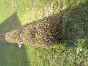 Hedge to give  away. Free.