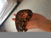 Ball Python for sale- with everything