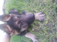 Looking for a loving home for a female German Shepherd