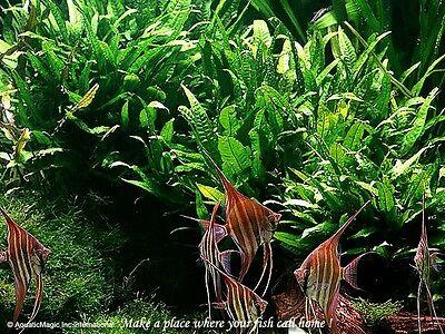 Java Fern x 5 bunch - 10% OFF Live Aquarium Plant Fish Tank PL-FE01 STOREOFFER .