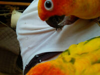 Jenday and Sun Conure