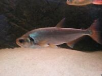 Red Tailed Vampire Tetra 14-15cm
