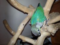 BB conure turquoise split yellowside