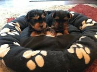 t cup yorkshire terrier puppys