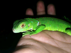 Iguanas, Fire Skinks, Uromastyx, Monitors, Fat Tail Geckos