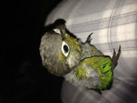 Green cheek conure babies with cages