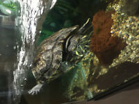 Red eared slider Water Turtle