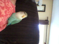 2 year old male pied lovebird