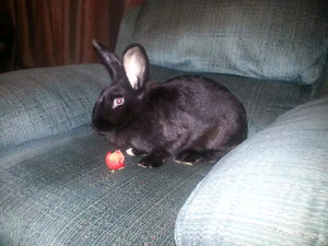 Female black New Zealand mix rabbit named Sock