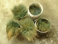 Wheat grass plants available. Five in total good ground coverage