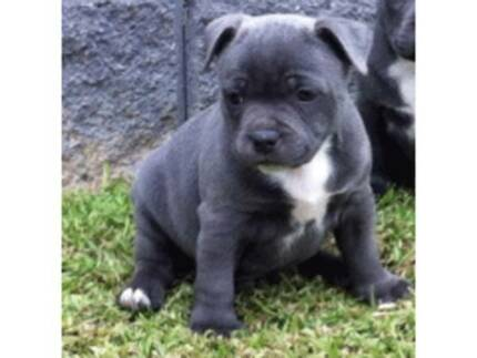 PREMIUM STAFFY PUPS Pure breed from Registered breeder with paper