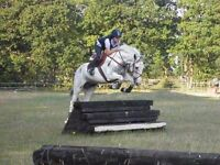 15.2hh allrounder for sale