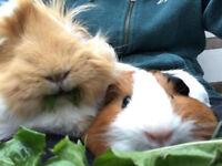 Female guinea pigs, hutch & run