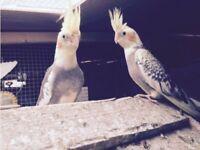 Beautiful Cockatiels for sale