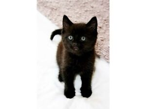 Wanted: a black short haired kitten for a loving home.