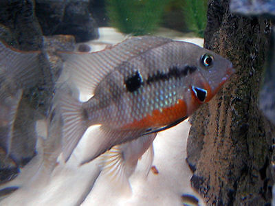 Two Thorichthys meeki Firemouth Cichlid 1.25 inch Live fish GUARANTEED