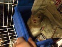 Pet Rats Available for Adoption - Rattitude Rat Rescue