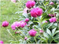 Peony flowers plants