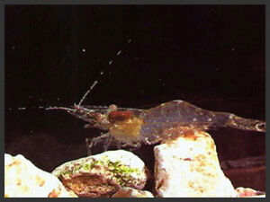 20 ghost shrimp live fish food for fresh or saltwater fish for Live fish food