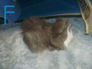 LONG-HAIRED GUINEA PIG BABIES & MOM (REDUCED)