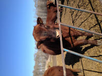 Registered Red Angus Yearling Bull