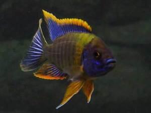 Aulonocara sp. Lwanda ** Malawi Cichlid **  Peacock cichlid