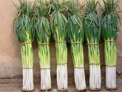 Green Onion Seeds Bunching Hot Vegetable Chinese Herb Vegetable Home Garden