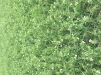 2015 crop year pea straw/ hay for sale