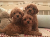 beautiful litter of apricot cavapoo puppies cavalier kc spaniel x poodle.