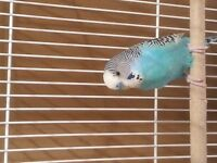 perruche ondulé bleu avec accessoires et nourriture