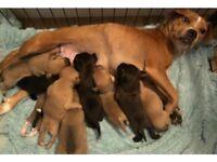 Staffy X Collie Puppies