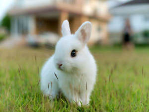 Looking for adult dwarf bunny