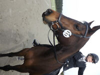 Pink to Plum - 16hh Bay Tb cross