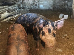 POTBELLY PIGS FREE