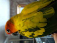 Sun Conure and Jenday Conure