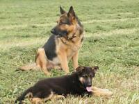 GERMAN SHEPHERD PUPS, WORLD CLASS, FAMILY FRIENDLY G S DOGS