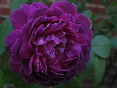 Beauty Violet 20 - 20+ DEEP PURPLE Rose Bush Seeds -  Exotic & Beautiful   USA SELLER,FREE SHIPPING