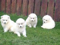 Full bred samoyed huskies