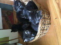 MANX Kittens Ready to go June 12th