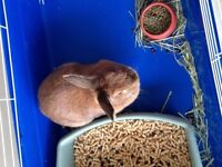 DOMESTIC BUNNY LOOKING FOR LOVING HOME